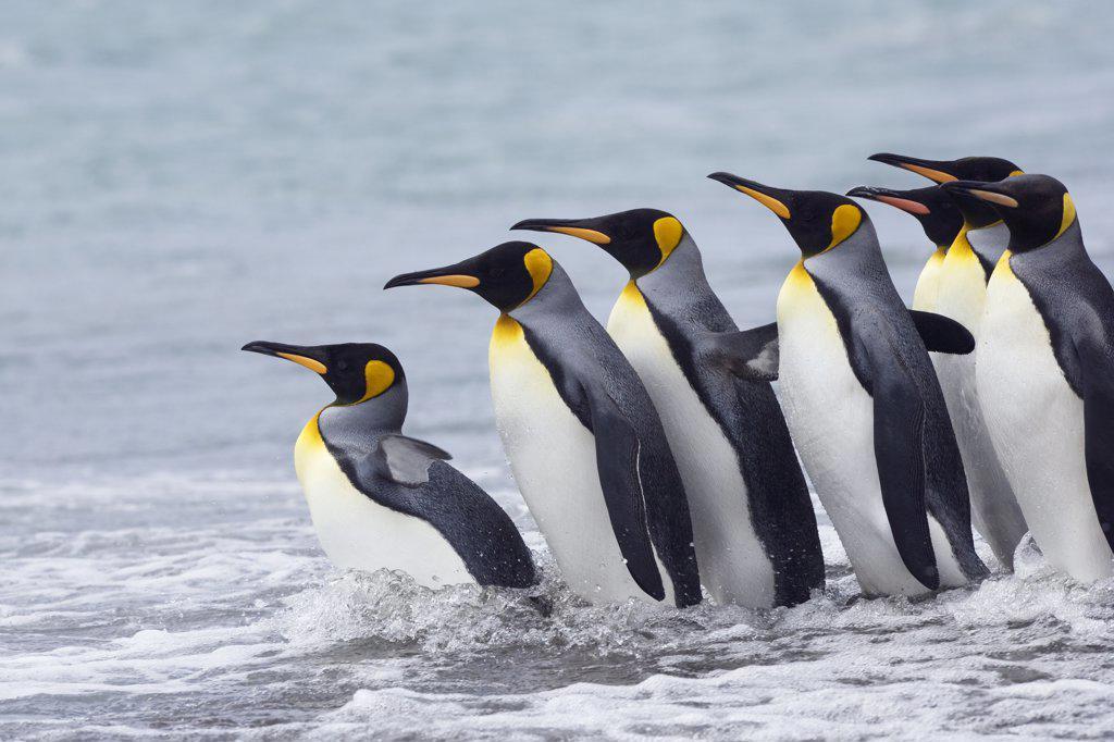 King Penguin (Aptenodytes patagonicus) group entering ocean, South Georgia Islands, Antarctica : Stock Photo