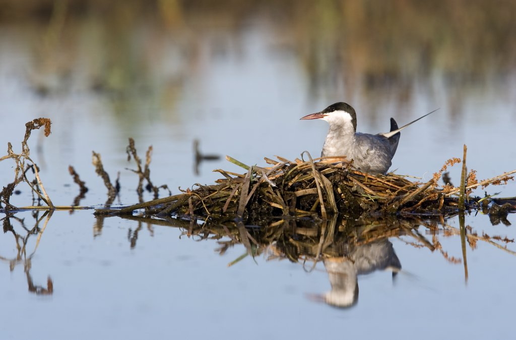 Stock Photo: 4201-56608 Whiskered Tern (Chlidonias hybridus) on floating nest, Donana National Park, Seville, Spain