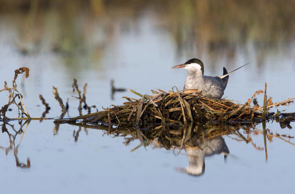 Whiskered Tern (Chlidonias hybridus) on floating nest, Donana National Park, Seville, Spain : Stock Photo