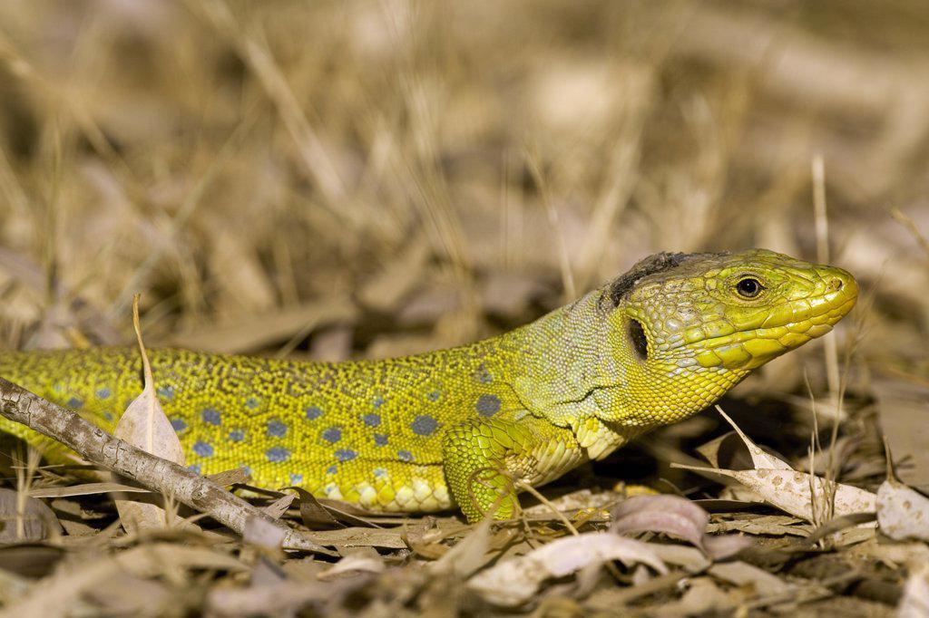 Eyed Lizard (Lacerta lepida) sunbathing, Seville, Spain : Stock Photo