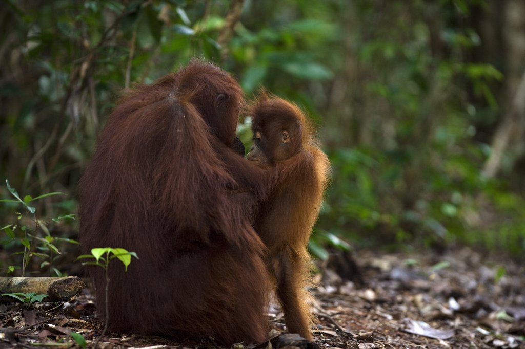 Stock Photo: 4201-56832 Orangutan (Pongo pygmaeus) female with infant, Tanjung Puting National Park, Borneo, Malaysia, Indonesia
