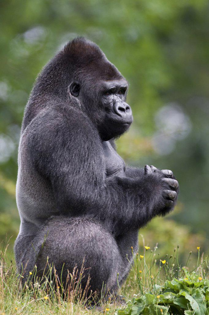 Western Lowland Gorilla (Gorilla gorilla gorilla) silverback, Netherlands : Stock Photo