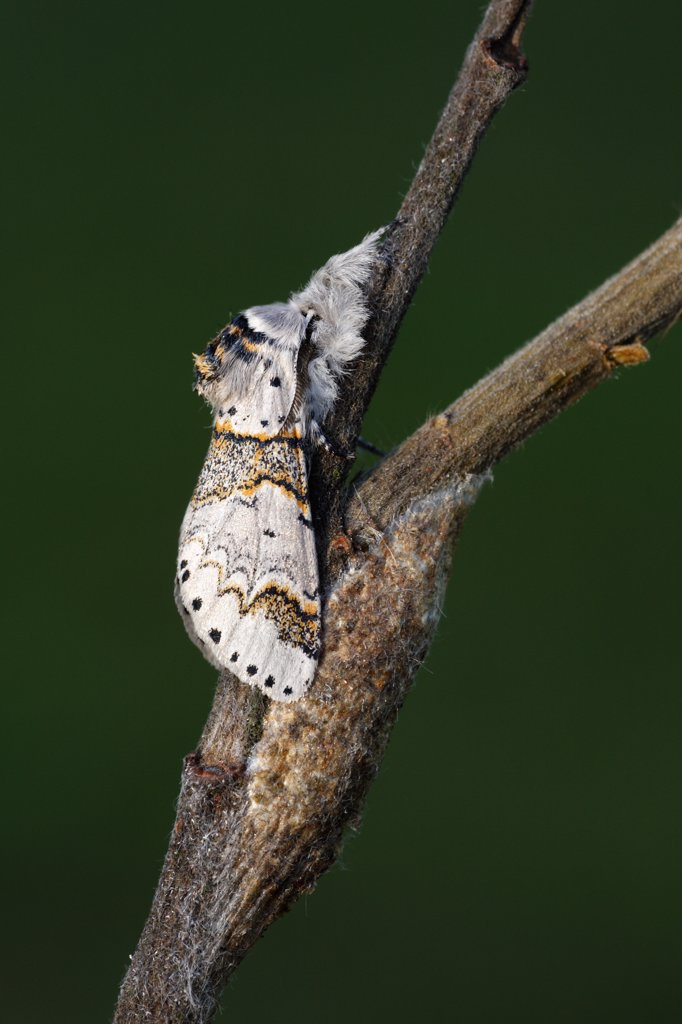 Stock Photo: 4201-57749 Sallow Kitten (Furcula furcula) moth freshly emerged, Overijssel, Netherlands