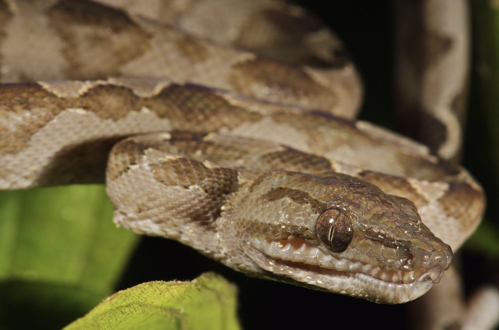 Stock Photo: 4201-57982 Ringed Tree Boa (Corallus annulatus) showing prominent loreal pits for heat sensory, Colon, Panama