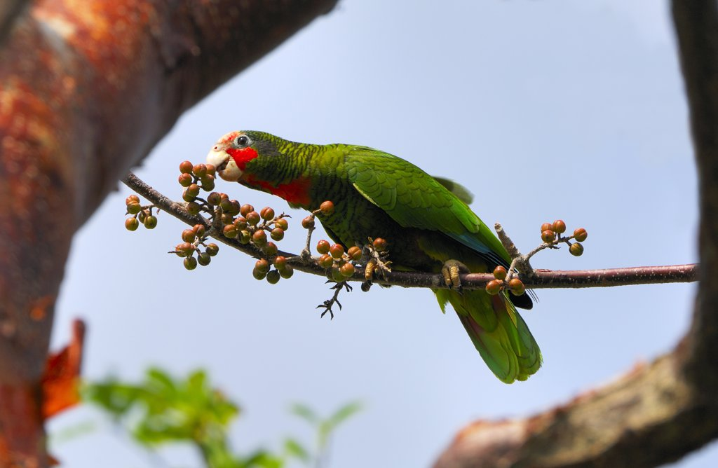 Stock Photo: 4201-58028 Cuban Parrot (Amazona leucocephala) feeding on Gumbo Limbo (Bursera simaruba) fruit, Grand Cayman, Cayman Islands, Caribbean