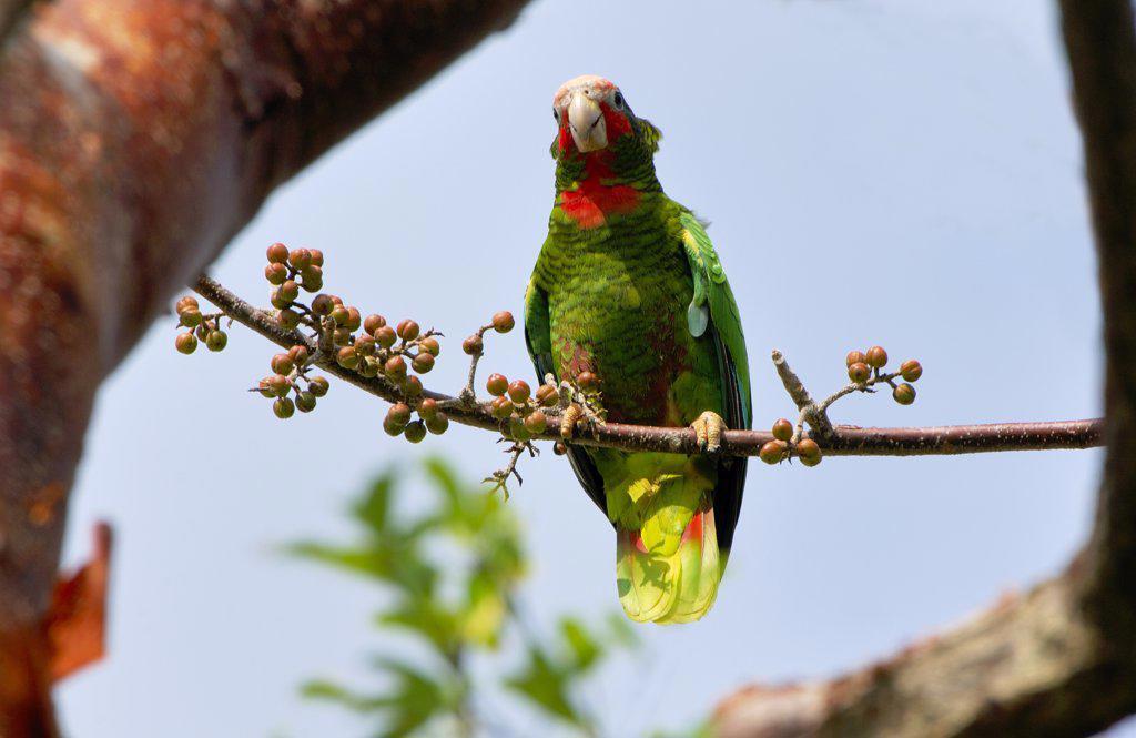 Stock Photo: 4201-58029 Cuban Parrot (Amazona leucocephala) perching on Gumbo Limbo (Bursera simaruba) branch, Grand Cayman, Cayman Islands, Caribbean