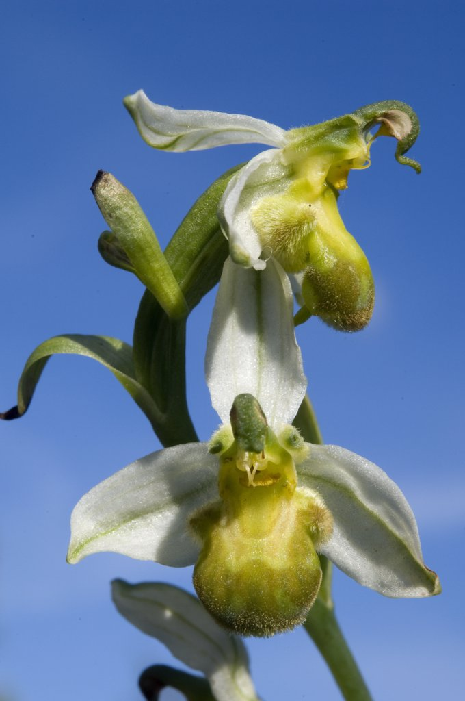 Stock Photo: 4201-58102 Bee Orchid (Ophrys apifera) flowers, Zeeland, Netherlands