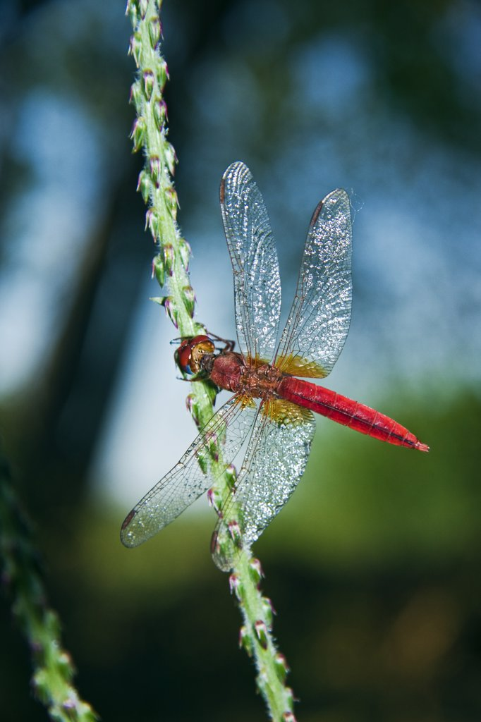 Stock Photo: 4201-58118 Orange-winged Dropwing (Trithemis kirbyi) dragonfly on plant stem, western Madagascar