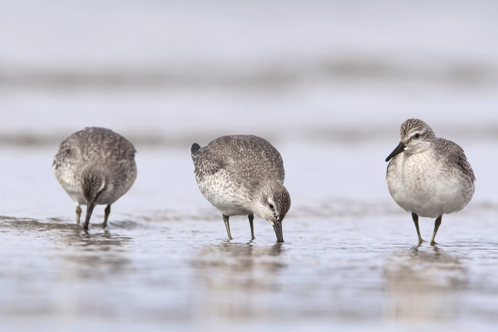 Red Knot (Calidris canutus) group foraging on the beach, Noord-Holland, Netherlands : Stock Photo