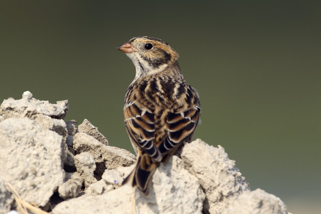 Stock Photo: 4201-59154 Lapland Bunting (Calcarius lapponicus), Noord-Holland, Netherlands