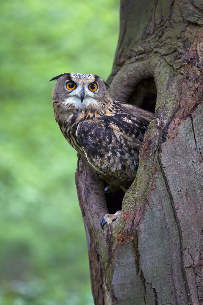 Stock Photo: 4201-59238 Eurasian Eagle-Owl (Bubo bubo) looking out from a tree cavity, Netherlands