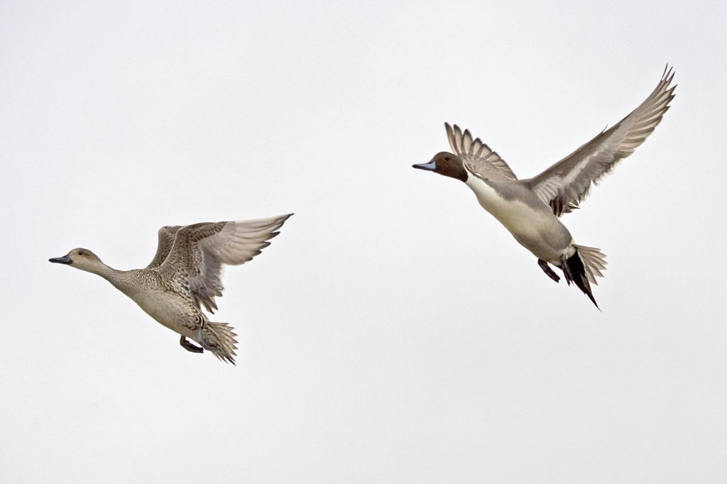 Northern Pintail (Anas acuta) couple flying, Hokkaido, Japan : Stock Photo