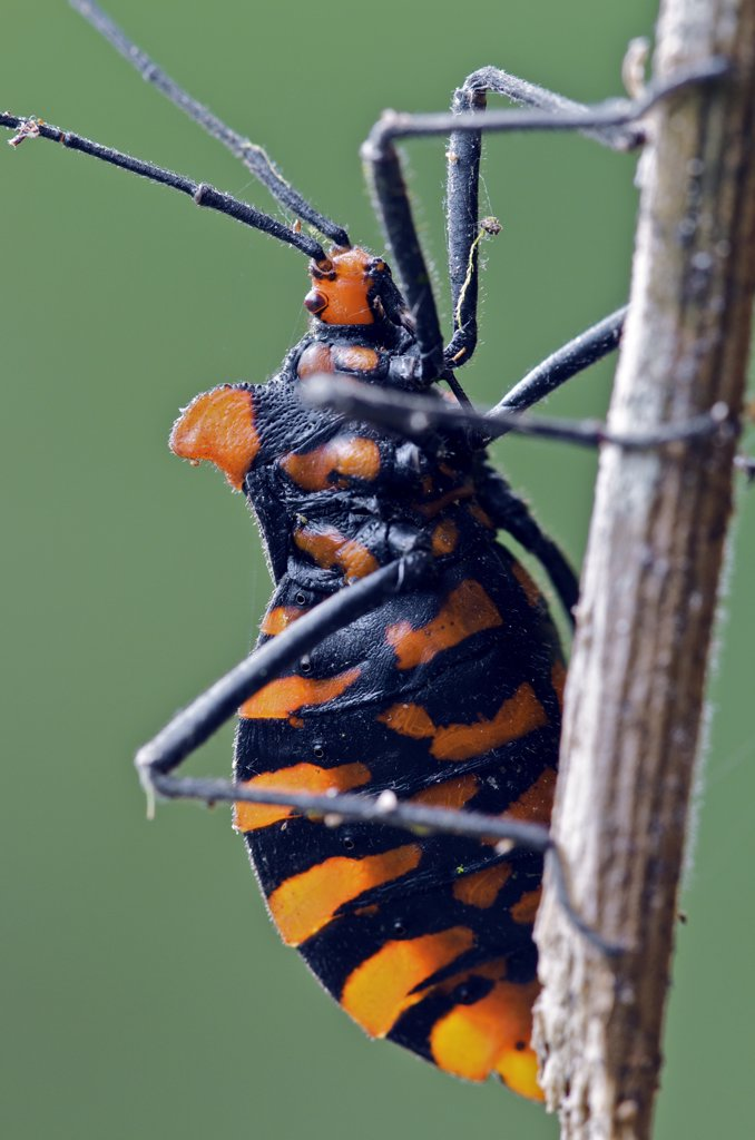 Assassin Bug (Heza sp) with aposematic coloration, Andes, Ecuador : Stock Photo