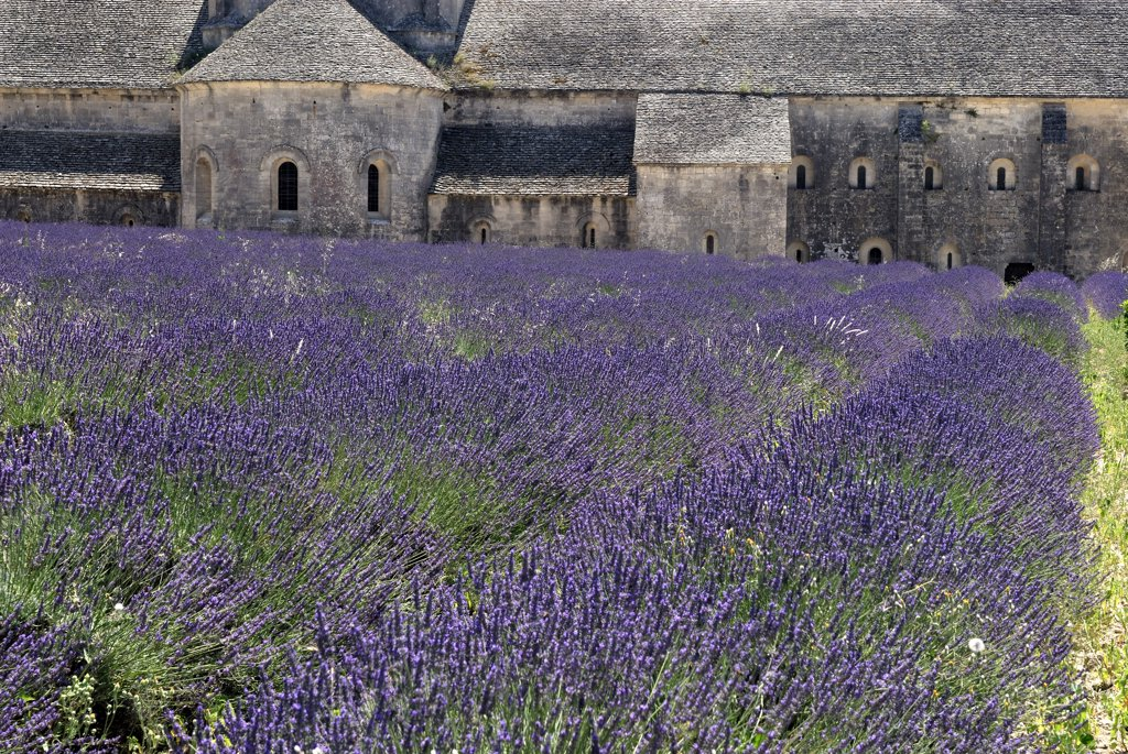 Stock Photo: 4201-59890 Lavender field with church in the background, Provence, France