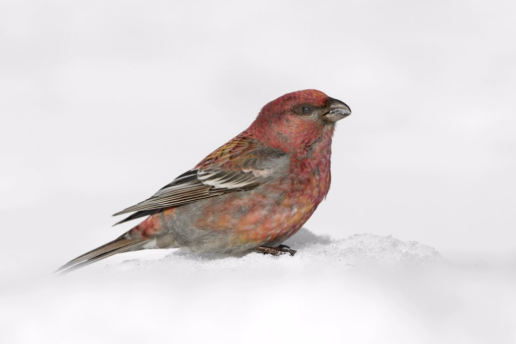 Stock Photo: 4201-60124 Pine Grosbeak (Pinicola enucleator) juvenile male feeding, Finland