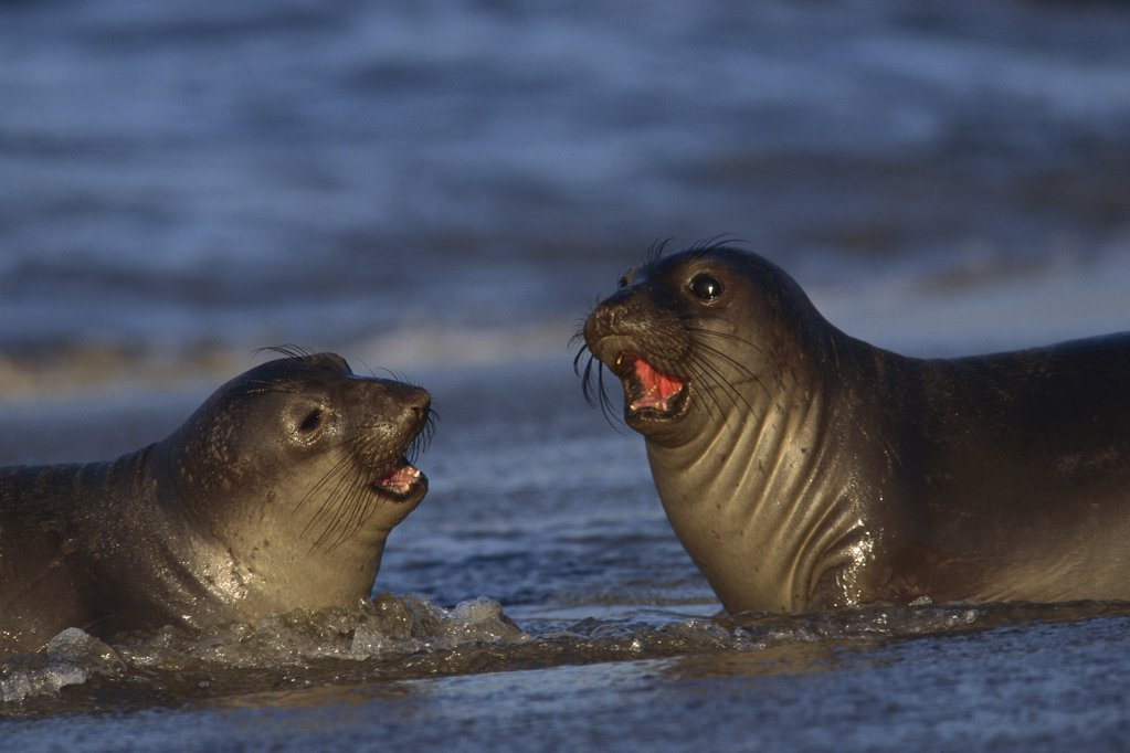 Stock Photo: 4201-6016 Northern Elephant Seal (mirounga Angustirostris) pups on beach