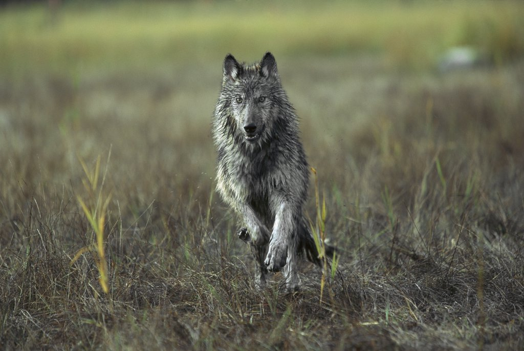 Timber Wolf (Canis lupus) running, North America : Stock Photo