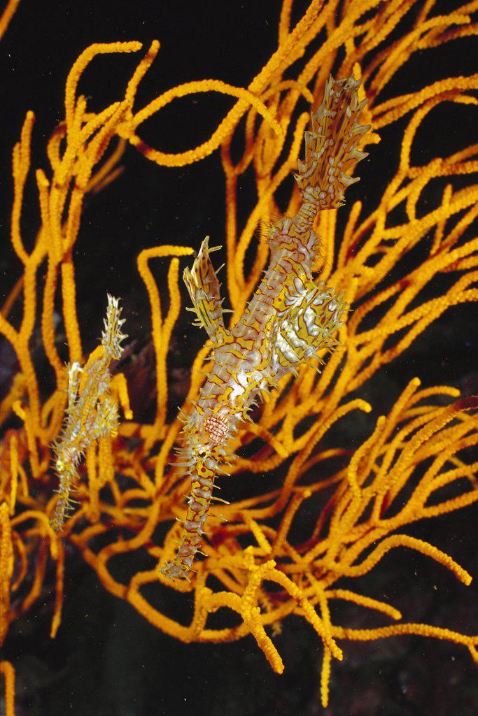 Harlequin Ghost Pipefish (Solenostomus paradoxus) pair, Andaman Sea, Thailand : Stock Photo