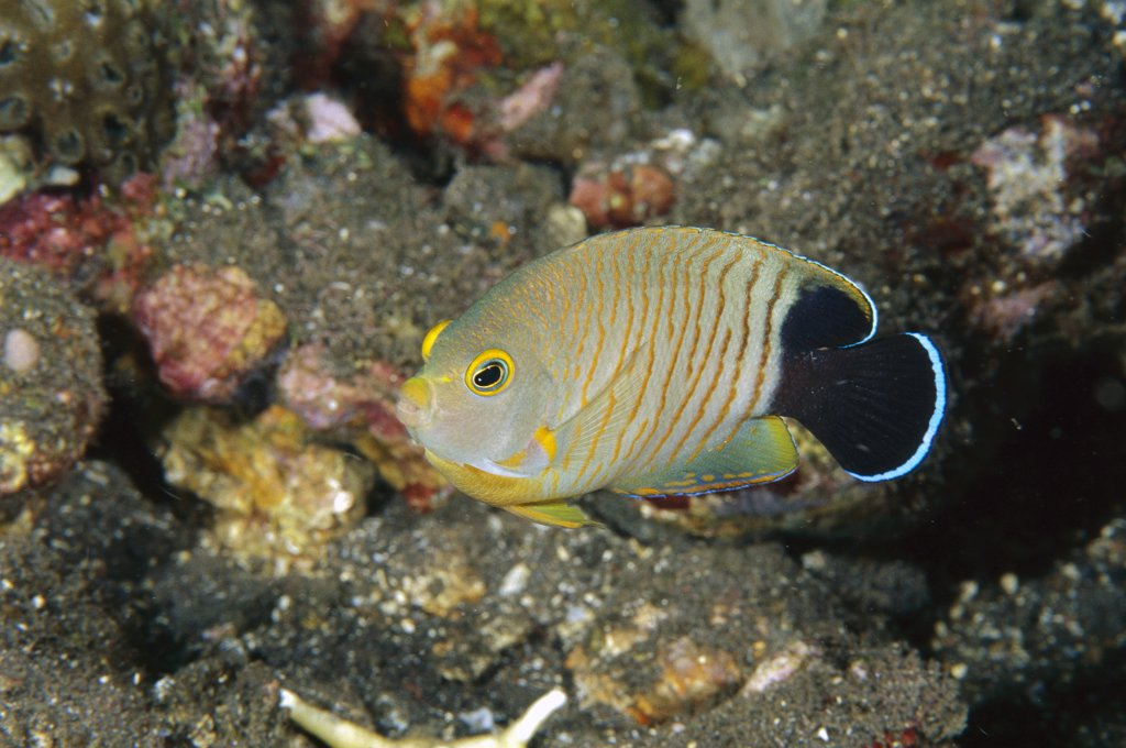 Stock Photo: 4201-60662 Blacktail Angelfish (Centropyge eibli), Bali, Indonesia