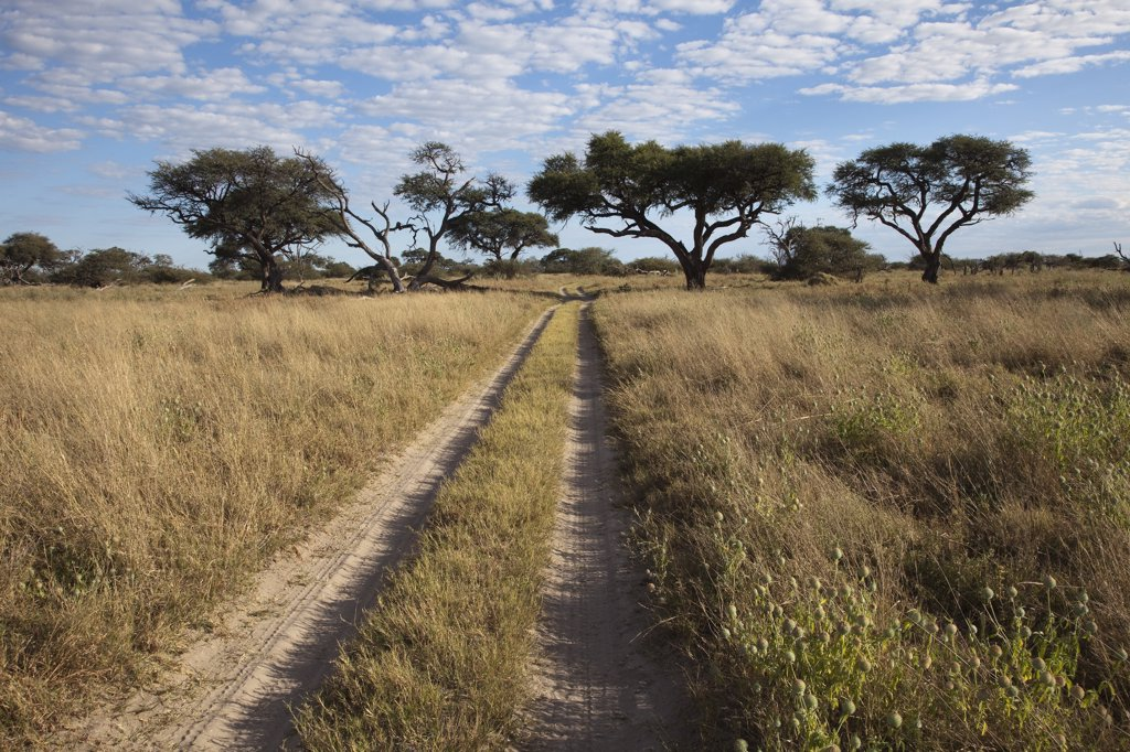 Acacia (Acacia sp) trees near dirt road, Chobe National Park, Botswana : Stock Photo