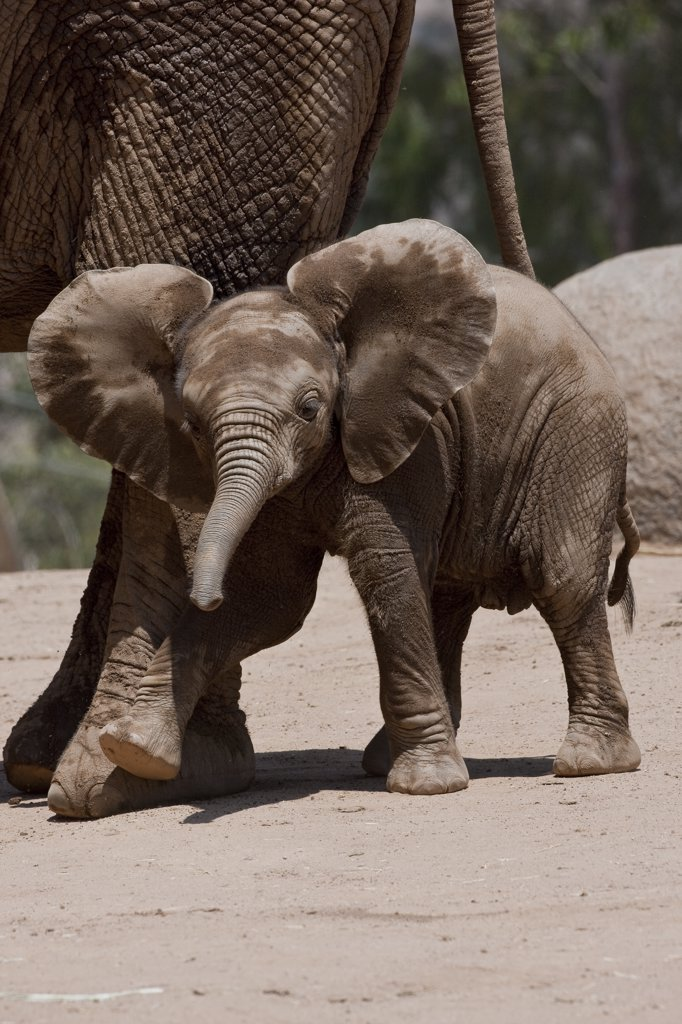 Stock Photo: 4201-60893 African Elephant (Loxodonta africana) calf, native to Africa