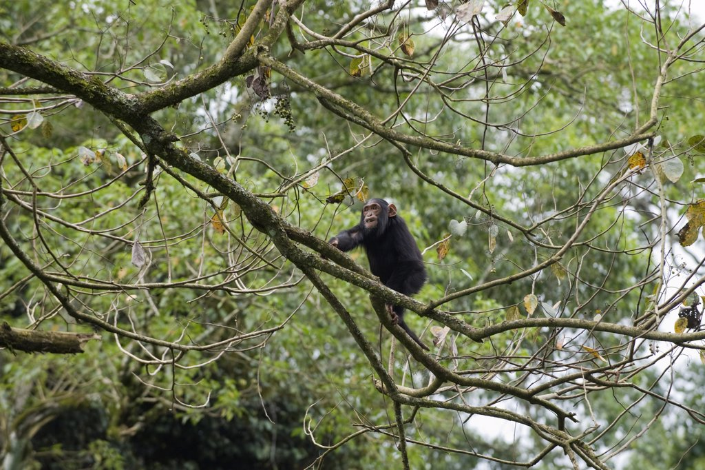 Chimpanzee pan troglodytes sub adult climbing in tree for How to calculate board feet in a tree