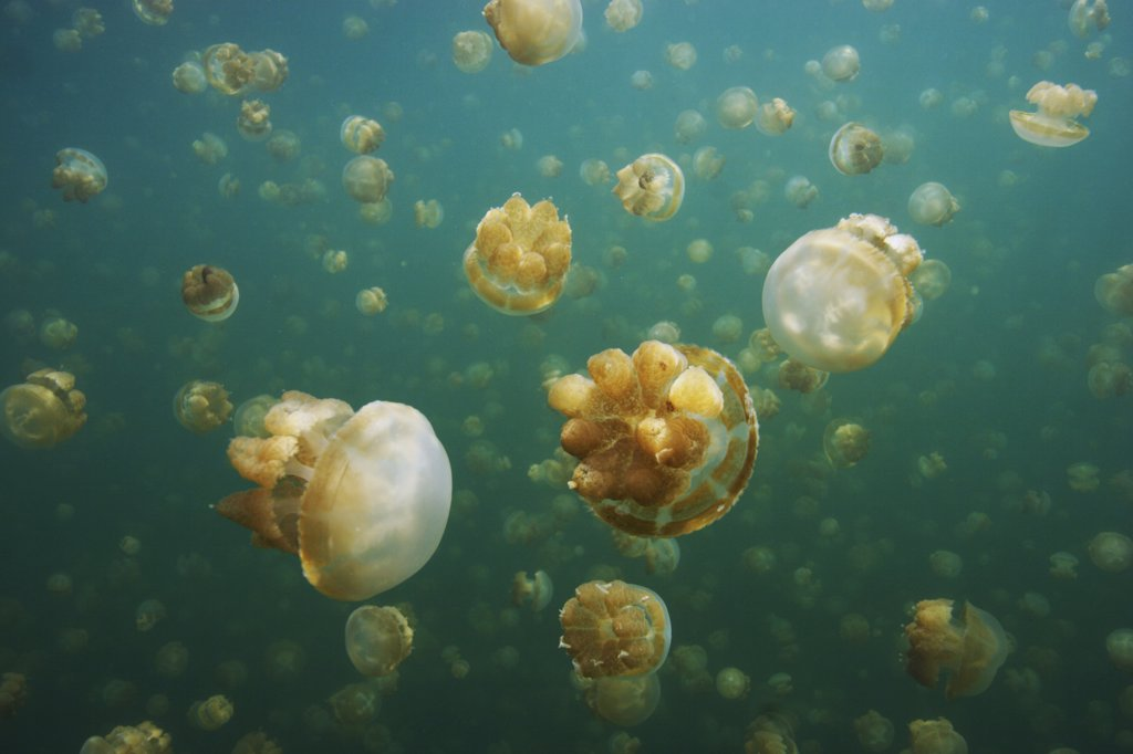 Stock Photo: 4201-61313 Jellyfish (Mastigias sp) group, Jellyfish Lake, Palau