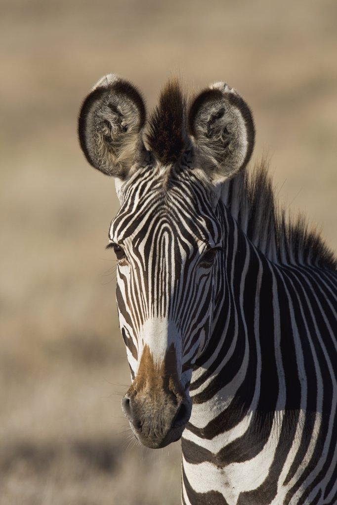 Stock Photo: 4201-61474 Grevy's Zebra (Equus grevyi) portrait, Lewa Wildlife Conservation Area, northern Kenya