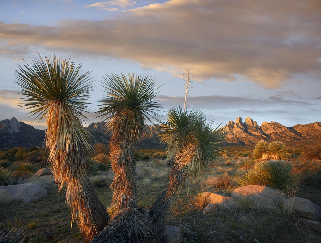 Yucca (Yucca sp) and Organ Mountains near Las Cruces, New Mexico : Stock Photo