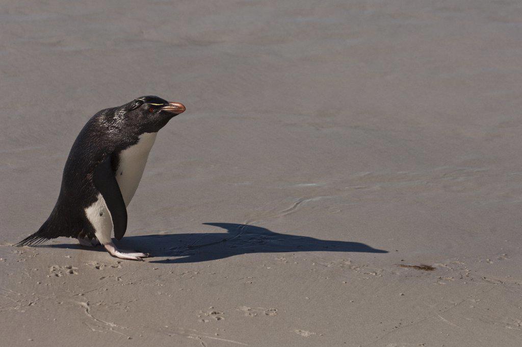 Stock Photo: 4201-61983 Rockhopper Penguin (Eudyptes chrysocome) on beach, Saunders Island, Falkland Islands