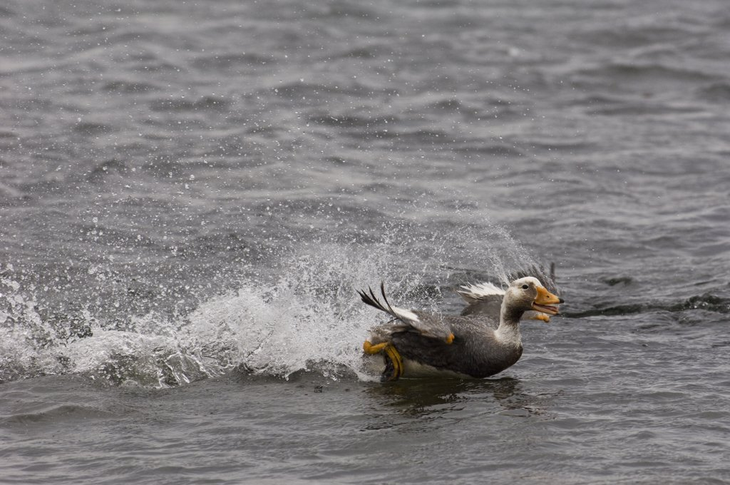 Stock Photo: 4201-62109 Falklands Steamerduck (Tachyeres brachypterus) evading other duck after lossing fight, Carcass Island, Falkland Islands