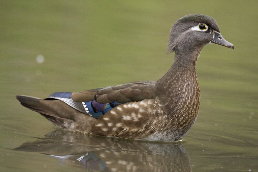 Wood Duck (Aix sponsa) female, Santa Cruz, Monterey Bay, California : Stock Photo