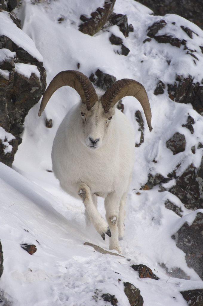 Stock Photo: 4201-62355 Dall Sheep (Ovis dalli) ram, Yukon Territory, Canada