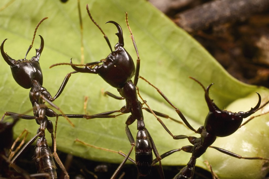 Driver Ant (Dorylus nigricans) trail guards in defensive position, Ghana : Stock Photo