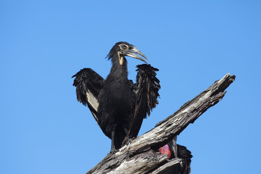 Ground Hornbill (Bucorvus leadbeateri) juvenile, Chobe National Park, Botswana : Stock Photo