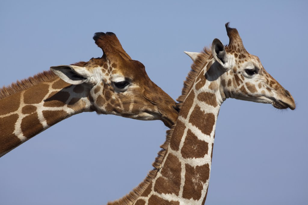 Stock Photo: 4201-62849 Reticulated Giraffe (Giraffa camelopardalis reticulata) male and female, Ol Pejeta Conservancy, Kenya