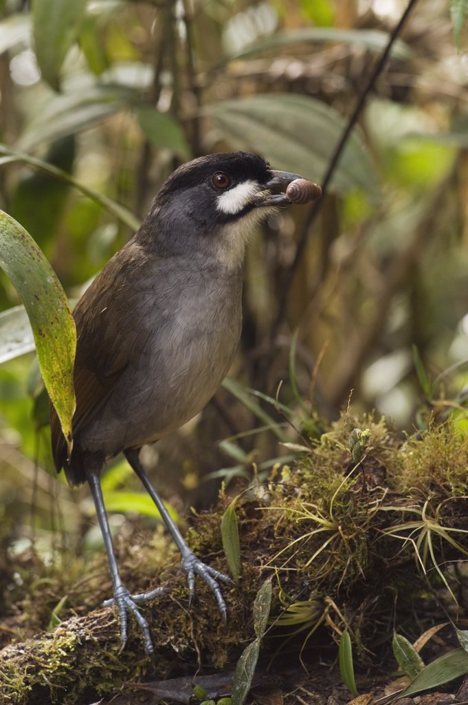Jocotoco Antpitta (Grallaria ridgelyi) with prey item, Zamora-Chinchipe, Ecuador : Stock Photo