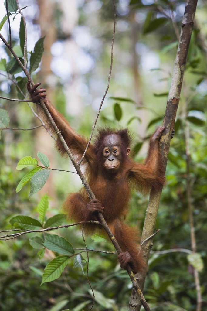 Stock Photo: 4201-62982 Orangutan (Pongo pygmaeus) baby climbing in tree, Tanjung Puting National Park, Indonesia