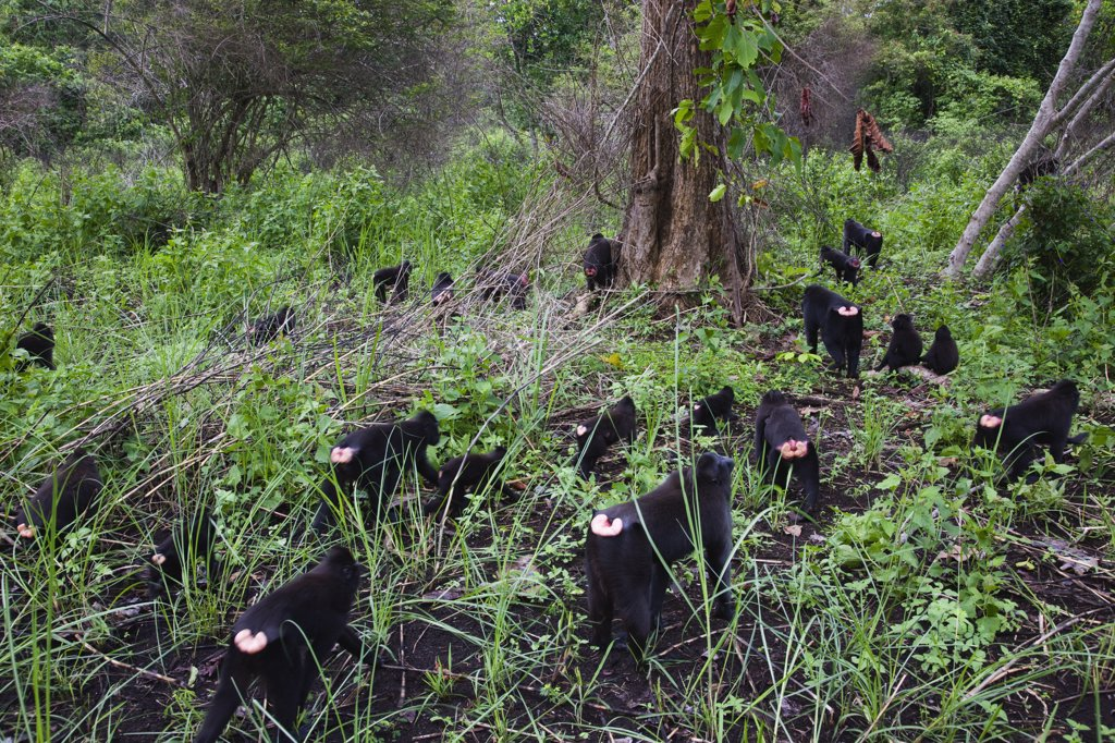 Celebes Black Macaque (Macaca nigra) group walking in slash and burn area near village, Sulawesi, Indonesia : Stock Photo