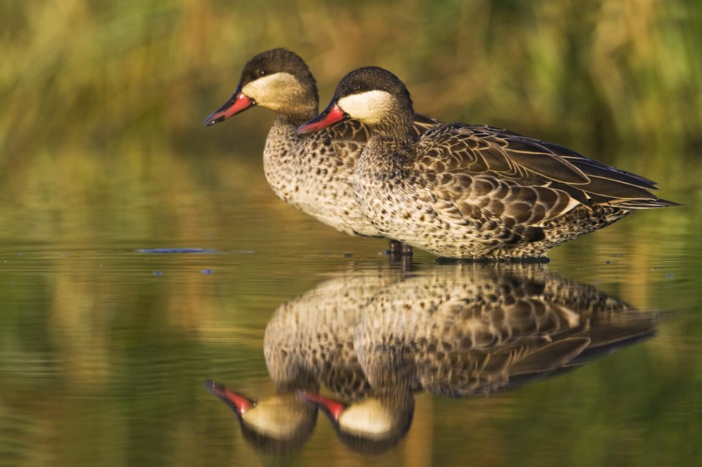 Stock Photo: 4201-63154 Red-billed Duck (Anas erythrorhyncha) pair standing in shallow water, Gaborone Game Reserve, Botswana