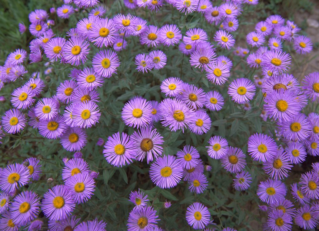 Smooth Aster (Aster laevis) plant in full summer bloom, Colorado : Stock Photo