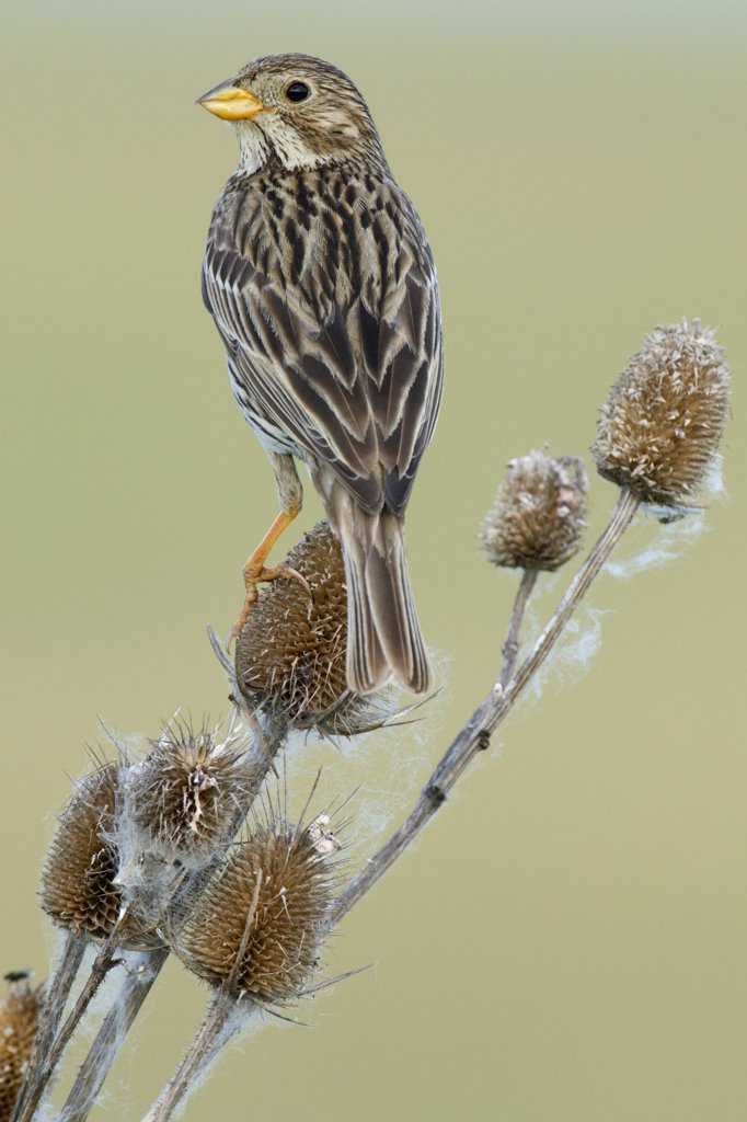 Stock Photo: 4201-63447 Corn Bunting (Miliaria calandra) perched on a Wild Teasel (Dipsacus fullonum), Hungary