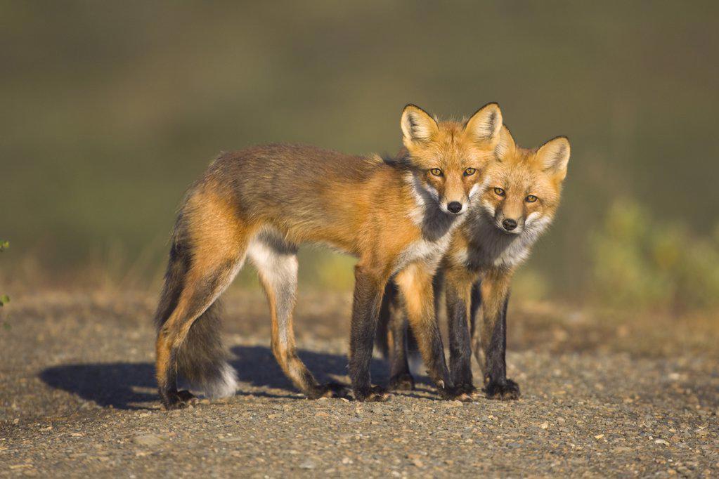 Stock Photo: 4201-63774 Red Fox (Vulpes vulpes) siblings, Denali National Park, Alaska