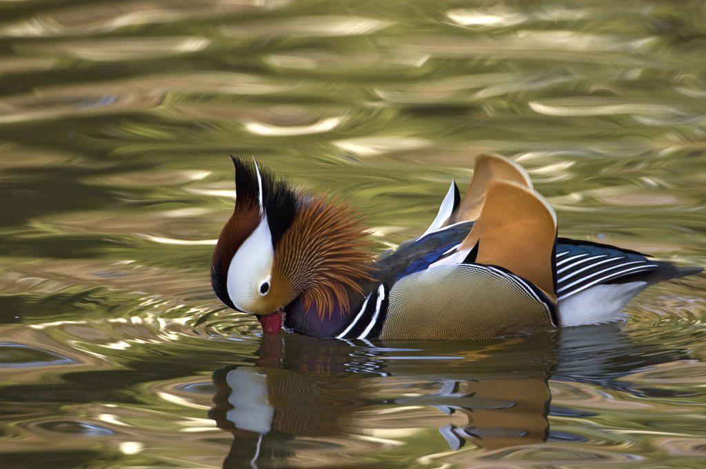 Stock Photo: 4201-64288 Mandarin Duck (Aix galericulata) drake displaying, Japan