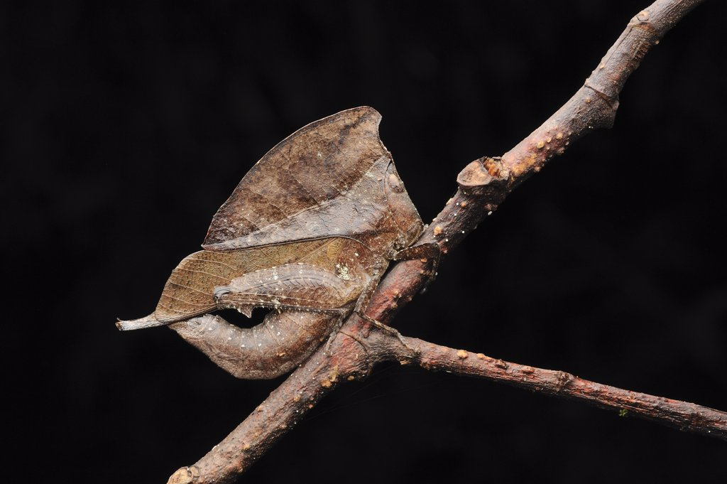 Grasshopper (Chorotypus sp) mimicking leaf, Gunung Mulu National Park, Borneo, Malaysia : Stock Photo