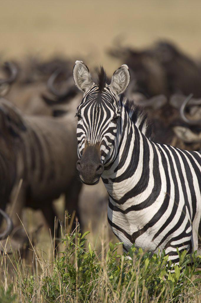 Stock Photo: 4201-64516 Burchell's Zebra (Equus burchellii), Masai Mara National Reserve, Kenya