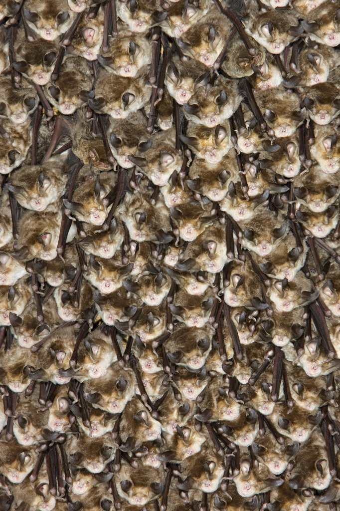 Stock Photo: 4201-64972 Mehely's Horseshoe Bat (Rhinolophus mehelyi) group roosting, Sardinia, Italy