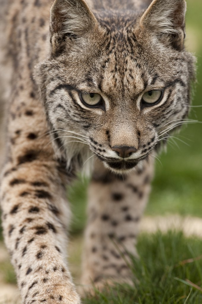 Stock Photo: 4201-65027 Spanish Lynx (Lynx pardinus) at captive breeding center, Andalusia, Spain