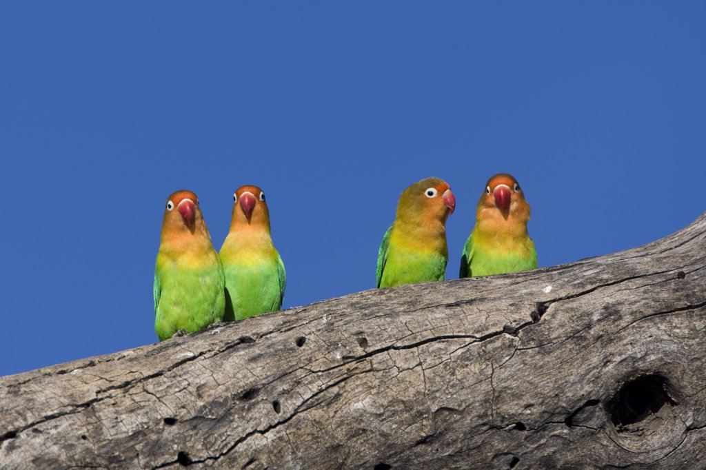 Stock Photo: 4201-65151 Fischer's Lovebird (Agapornis fischeri) pairs on branch, Ngorongoro Conservation Area, Tanzania