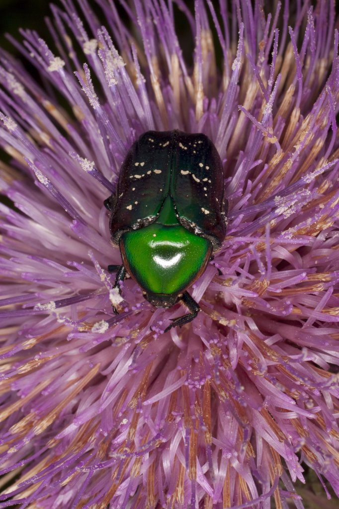 Euphoria Beetle (Euphoria fulgida) collecting nectar from a thistle flower, central Texas : Stock Photo